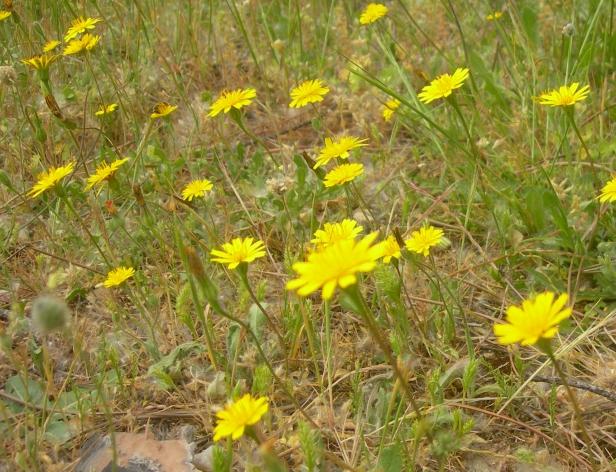 Pastizal Leontodon saxatilis rothii y Plantago lagopus San fdo H M 7-V-2014